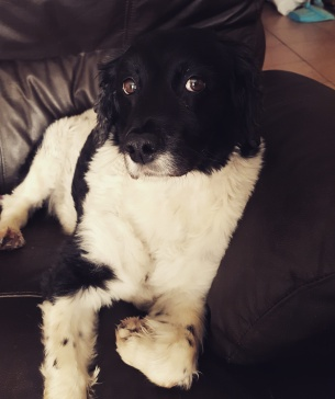 My 12 year old spaniel. What a beauty x